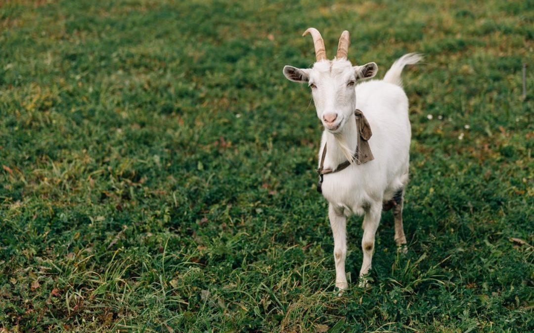 Track the Roseville grazing goats!